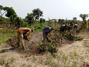 Tieningboué (Côte d'Ivoire): Farmers helping with tuber harvest using a daba