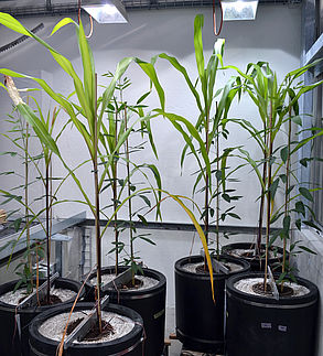 Greenhouse intercropping experiment in Eschikon, Switzerland. Each pot contains one maize plant and one pigeon pea plant (local Malawi cultivars) divided by one of three root barriers (solid, mesh, or none). Plants were grown in field soil from Malawi, su