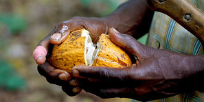 Harvested cocoa pod are broken to extract the cocoa beans.Harvested cocoa pod are broken to extract the cocoa beans (Photo: Wilma Blaser)